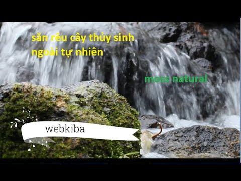 rêu thủy sinh và cây thủy sinh ngoài tự nhiên