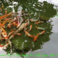 sân vườn hồ cá koi biệt thự