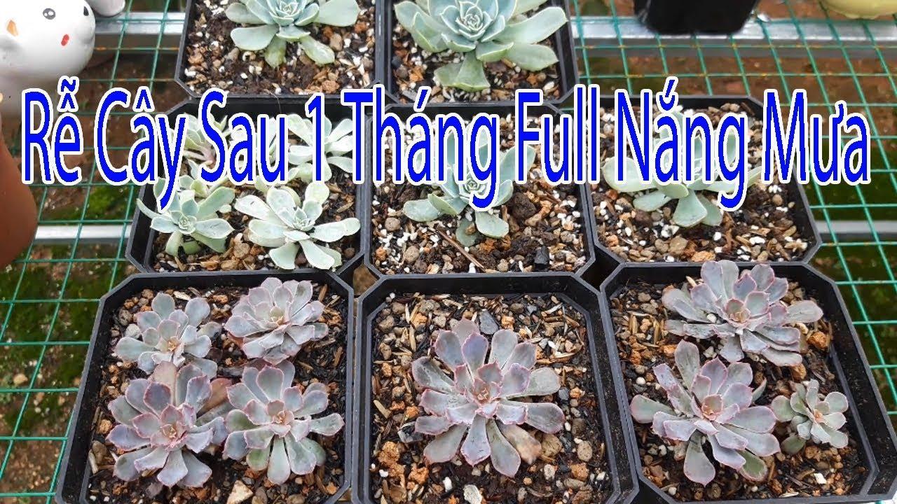 succulent Gia Nghia | Tách cây con nhân giống sen đá thuần chủng P2.