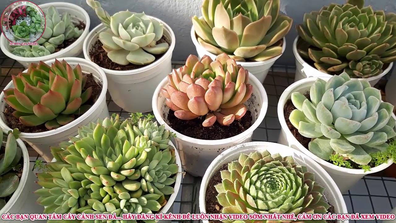 succulent Gia Nghia   vì sao phải thay đất sen đá, không muốn thay đất phải làm như thế nào P1