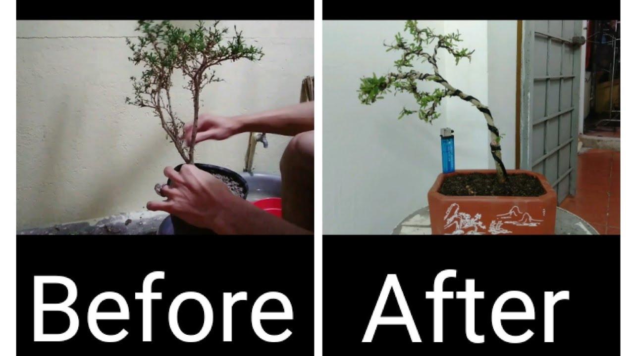 tạo hình cây cảnh (video 4)   linh sam mini - bonsai yêu thich