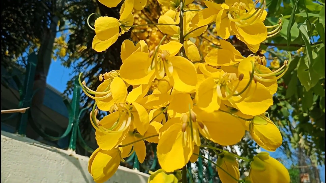 Ý Nghĩa Phong Thủy Hoa Muồng Hoàng Yến-Cassia fistula | Thế Giới Cây Xanh
