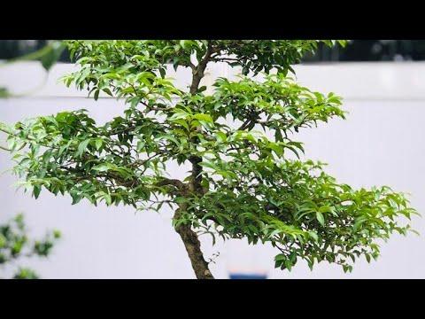 Ý nghĩa cây MAI CHIẾU THỦY phong thủy | Trấn an lọc mạch ,kích vận tiền tài