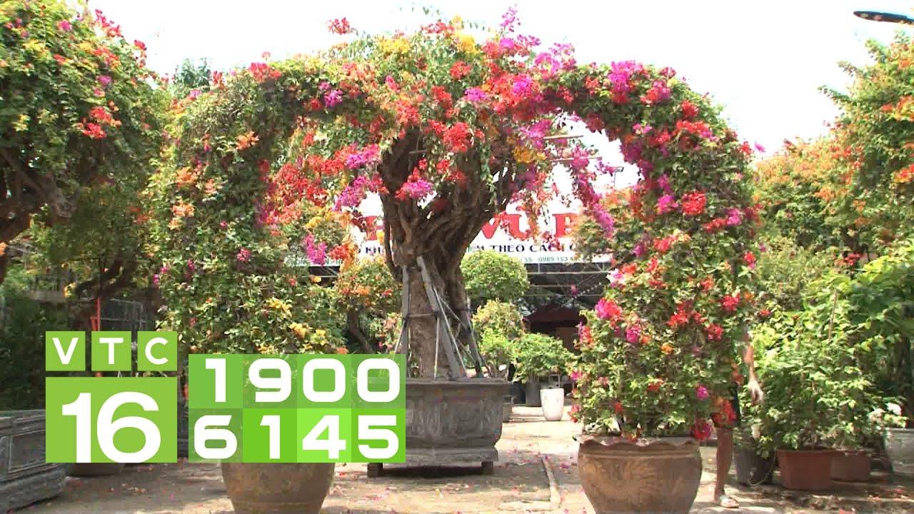 Đã mắt ngắm cây hoa giấy có giá nửa tỷ đồng | VTC16