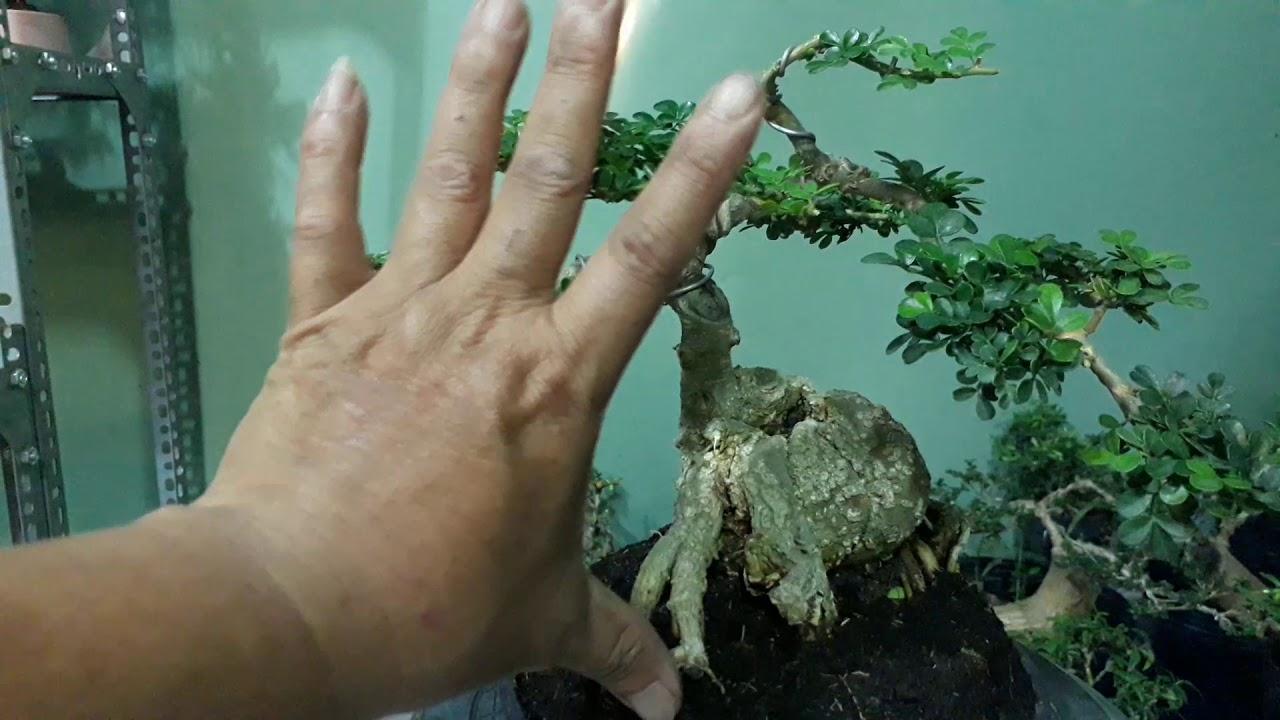 06 bonsai mini, tiểu cảnh mini giá rẻ zalo 0909393078
