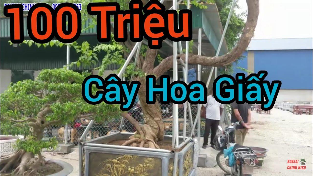 100 triệu cây Hoa Giấy tại cơ sở bán cây cảnh và chậu cảnh tại Ninh Bình.
