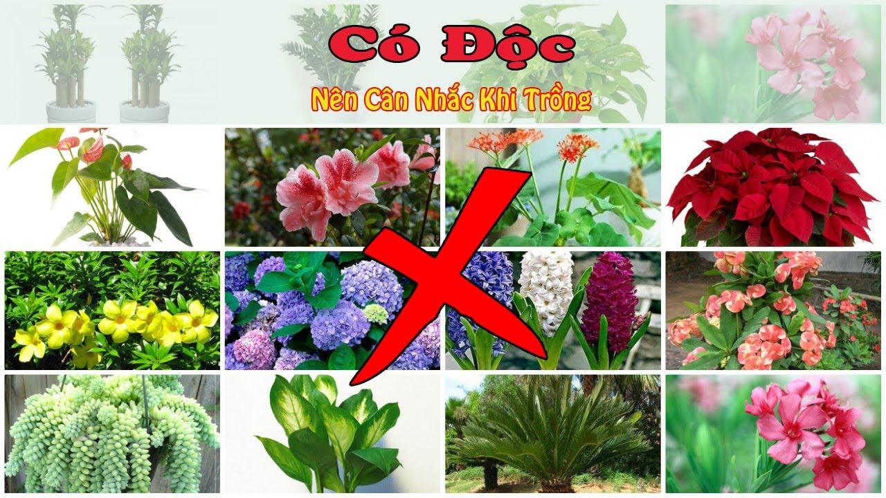15 loại cây cảnh có độc nên cân nhắc khi trồng trong nhà