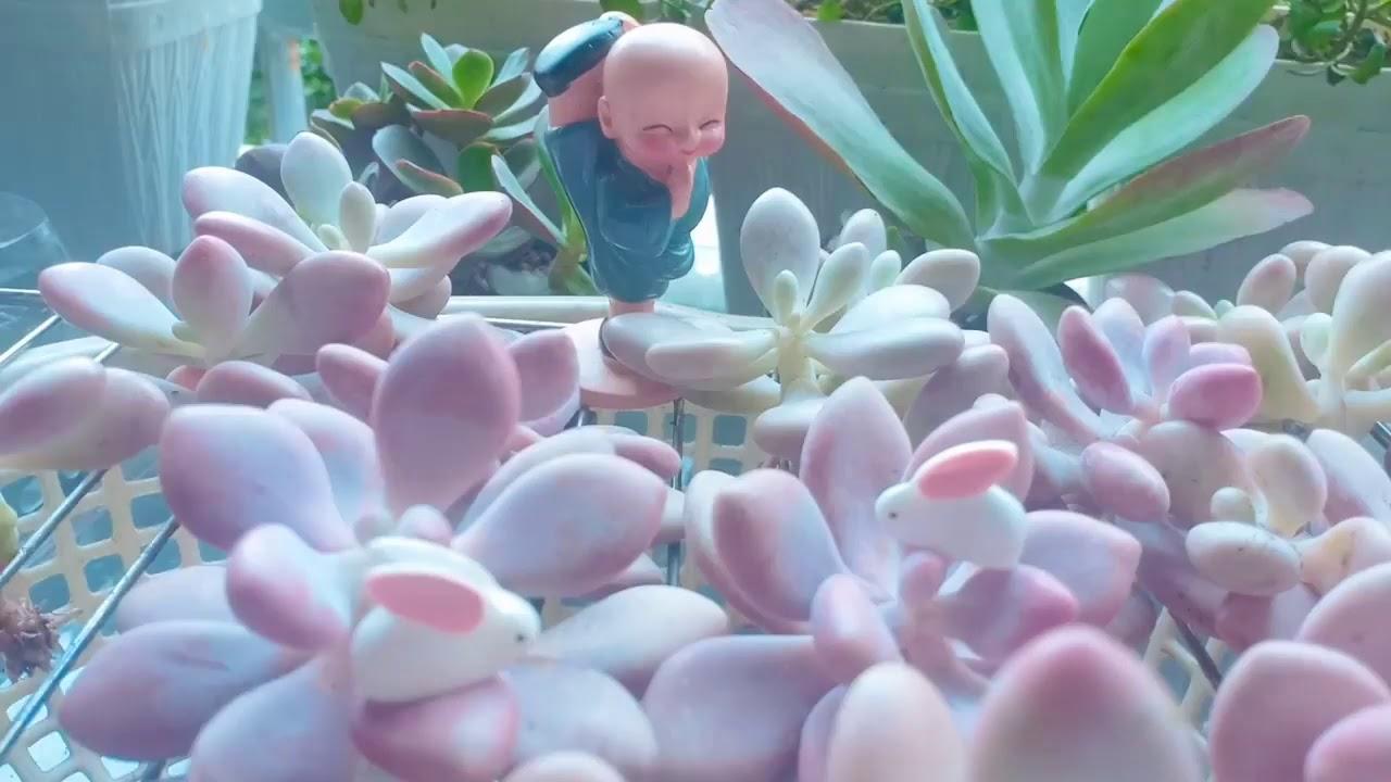 thiên thần sen đá ( unique succulents)