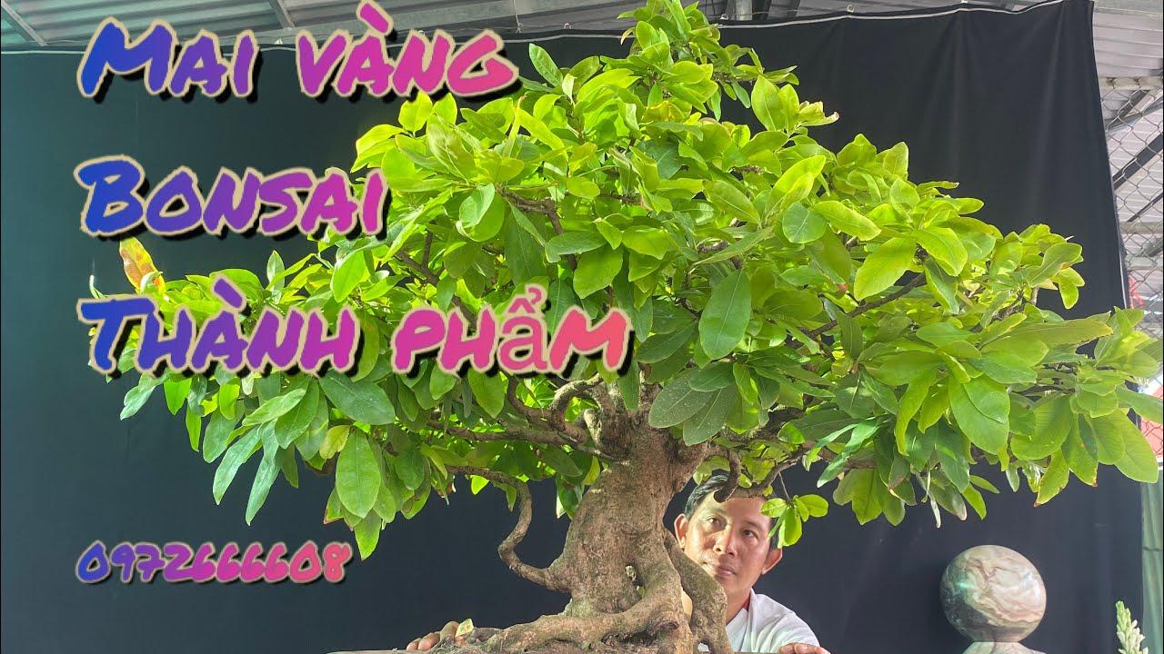 2cây mai vàng bonsai tàng thành phẩm/0972666608 nghĩa