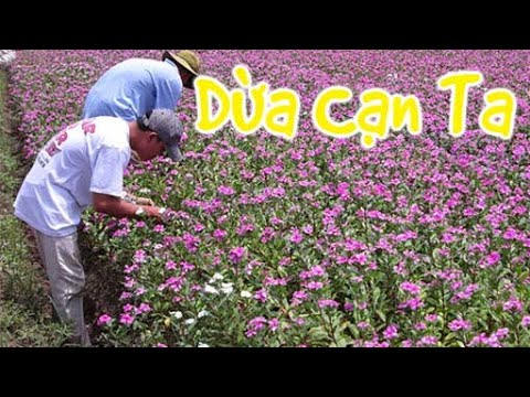 428. Hoa Dừa Cạn Ta | CÂY CẢNH CHỢ HÀNG | Hải Phòng