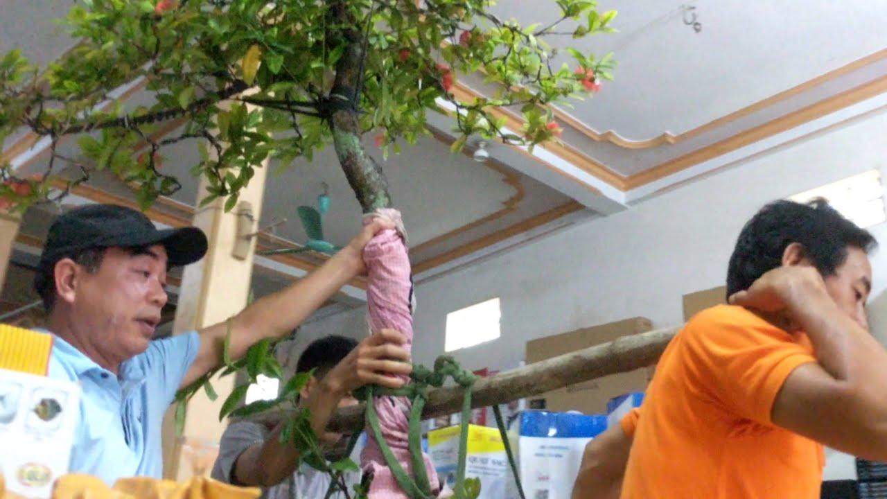47 triệu cây Mẫu Đơn Vàng tại vườn Mẫu Đơn lớn nhất Triệu Sơn - T.Hóa.