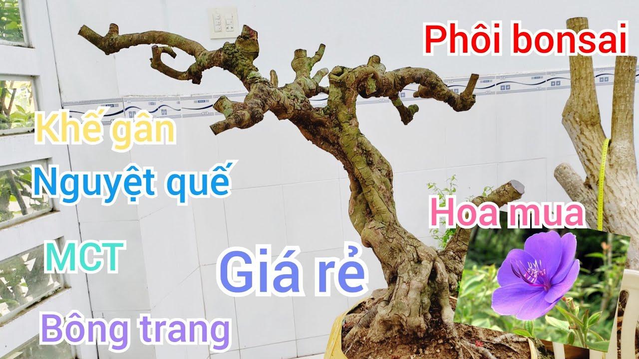 Báo giá phôi bonsai quái đẹp (khế gân, bông trang, MCT, nguyệt quế) giá rẻ 4/6 ? Quách Tuấn