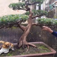 Bởi vì đam mê cây cảnh, Bonsai nghệ thuật với PHẠM QUỐC CƯỜNG