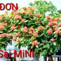 Bon sai mini. Hoa mẫu đơn. Cây cảnh mini.Bon sai mini. Peony. Mini bonsai