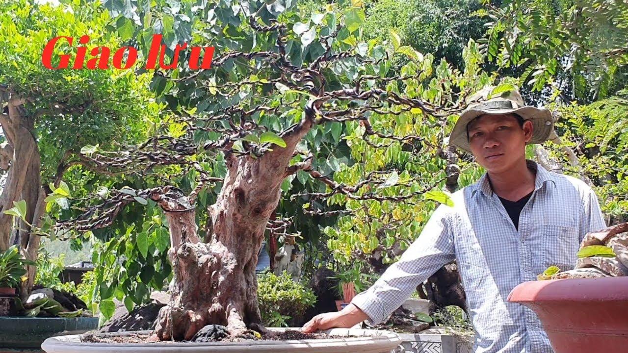 BonSai Ổi ,Trang Vàng ,Hải Châu ,Linh Sam ,Sộp Đỏ,Khế Chua,Mai Chiếu Thủy Giao Lưu (Kỳ 0905 044 113)