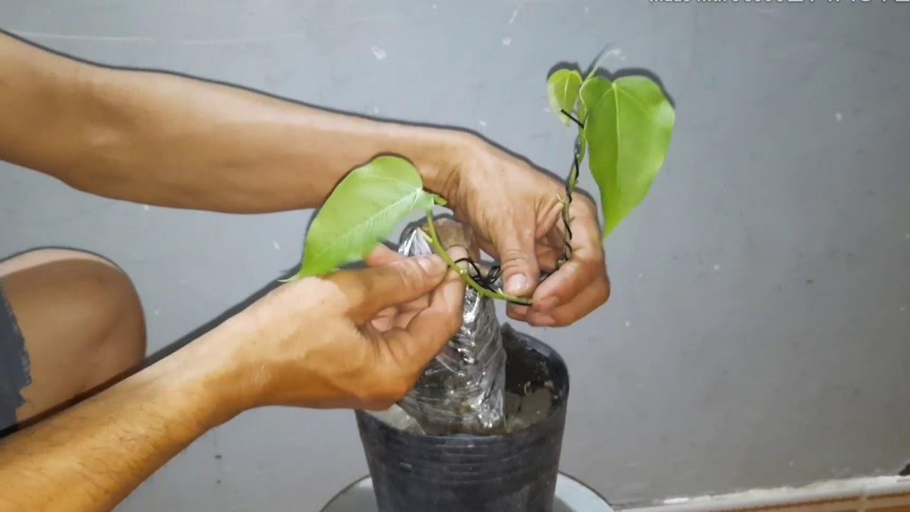 Bonsai bám đá