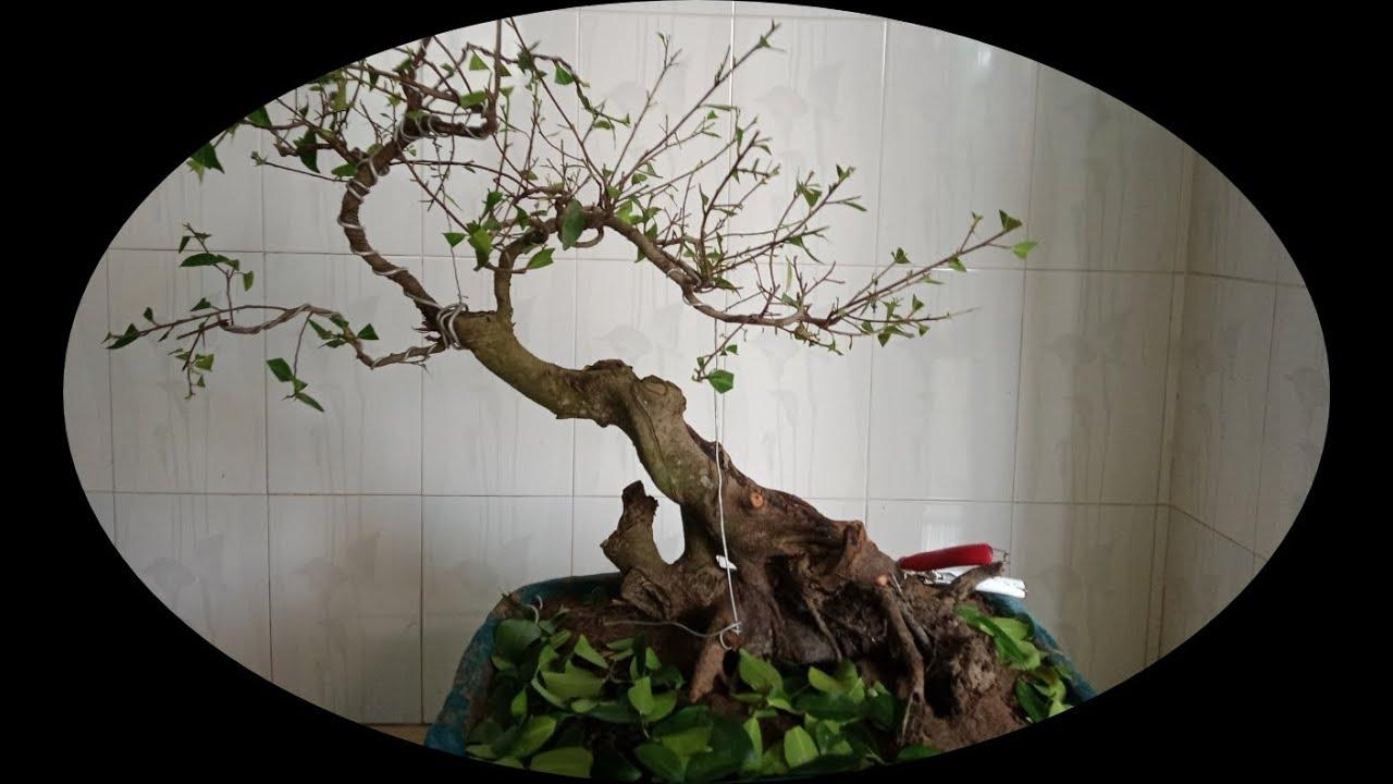 Bonsai cây Si, cắt tỉa nghe Chào Mào hót