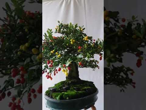 Bonsai cây cảnh(2)