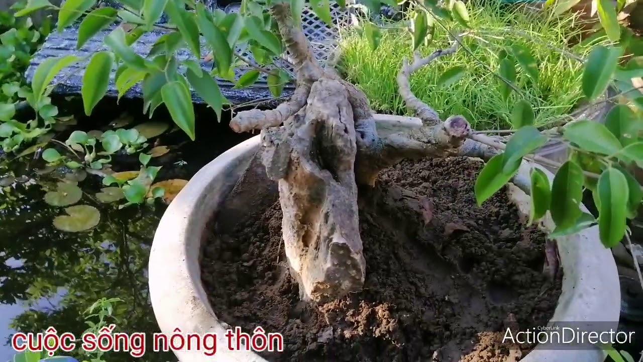 Bonsai :phôi cây xanh lên chậu