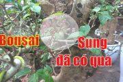 Bonsai sung cảnh ra quả cực hay, dang tien thuy