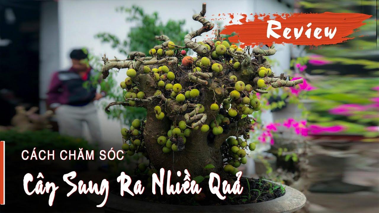 CÁCH TRỒNG CÂY SUNG RA NHIỀU QUẢ - Hướng dẫn trồng cây sung ra quả