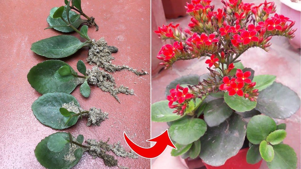 Cách trồng cây hoa sống đời từ lá - Bryophyllum pinnatum - Kalanchoe pinnata