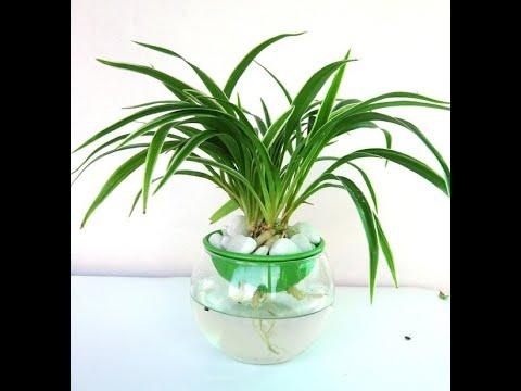 Cách trồng cỏ Lan Chi theo phương pháp thủy canh - Cây Lan Chi