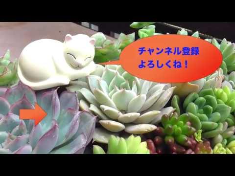 Cách trồng sen đá tuyệt đẹp của người Nhật Bản (video by  The moment)