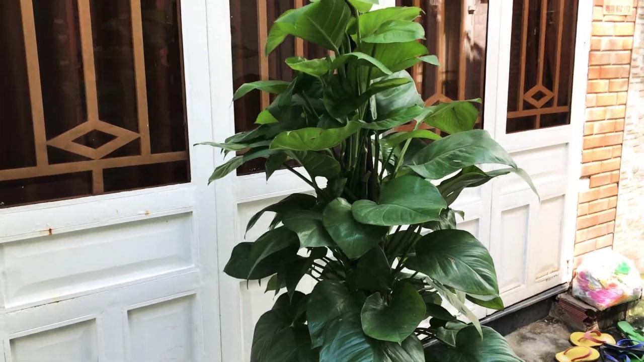 Cách trồng và chăm sóc cây Trầu Bà leo cột