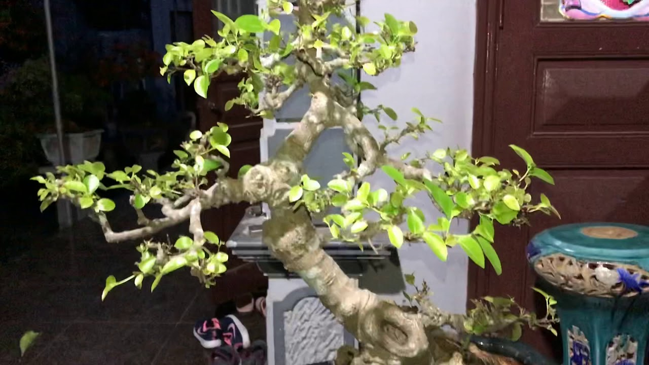 Cây Cảnh Nghệ Thuật   Si Nõn Hồng   Bonsai 7  