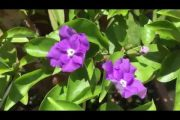 Cây Hoa Lài (nhài) Nhật sau hơn tháng ép hoa tạo dáng