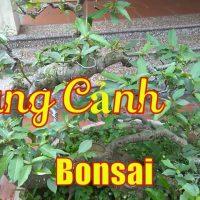 Cây Sung cảnh Bonsai Mini cực chất trên Hội Lim | dang tien thuy