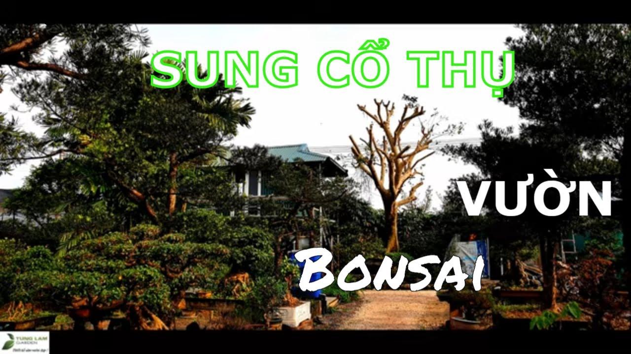 Cây Sung cổ thụ bên vườn cây cảnh Bonsai qua 2 sắc thái.