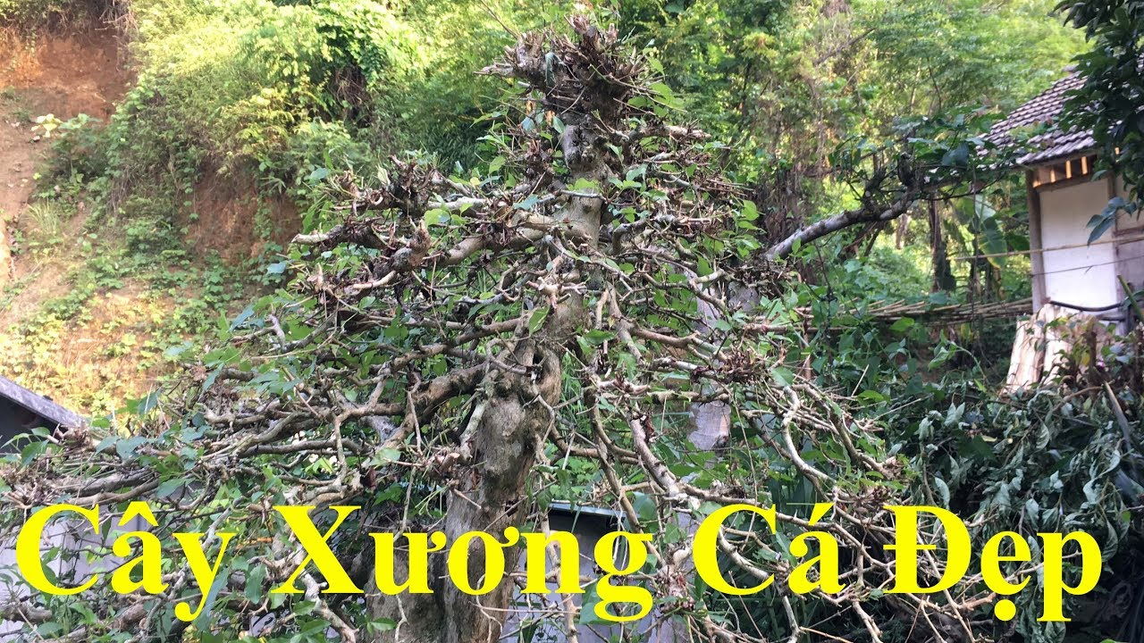 Cây Xương Cá Đẹp Nghệ Thuật Cổ Thụ - Bonsai Master In Viet Nam