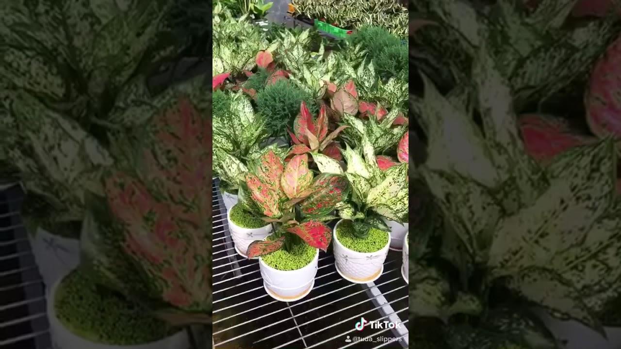 Cây cảnh để bàn mini - TDA GREEN