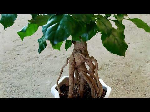 ? ? Cây hạnh phúc có bộ rễ đẹp nha cả nhà (120k) - Cây phong thủy