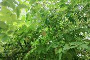 Cây khế|cây khế cảnh|cây cảnh đẹp|cây khế ngọt