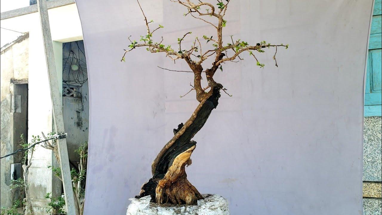 Cây kim tiền bonsai lũa thép đen bóng (X) 0795050333