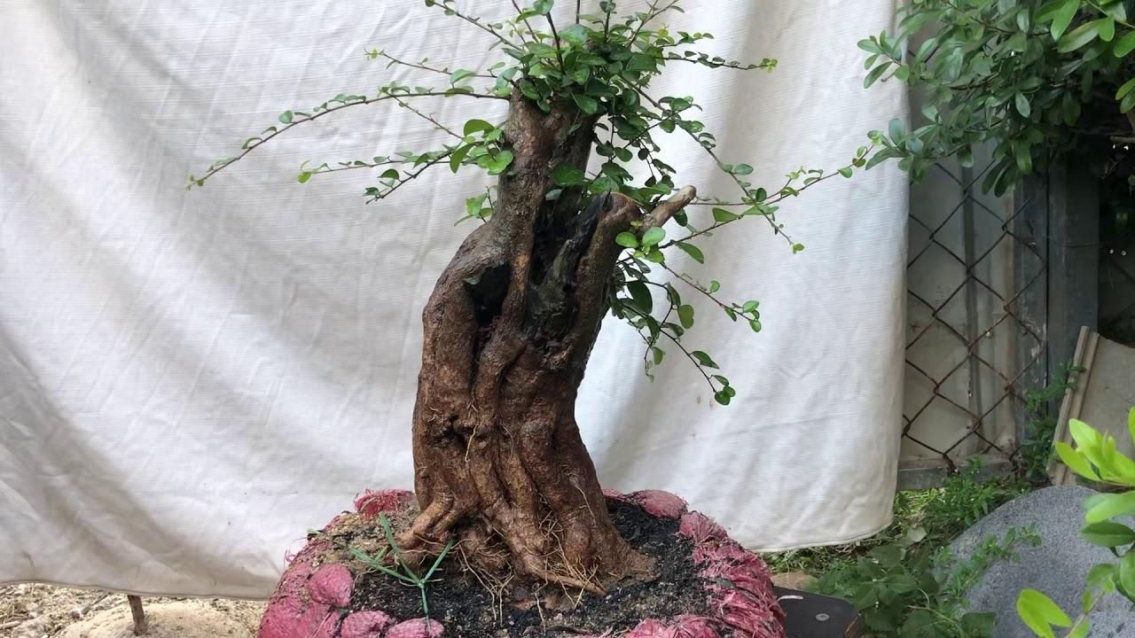 Cây kim tiền lủa thép (ms K9)Gl với ae giá 300k lh sđt 0908 868063 Trần Tuấn bonsai