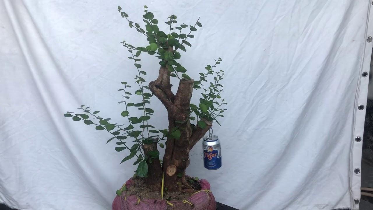 Cây kim tiền (ms K10)gl với ae giá 300k lh Sđt 0908 868063 Trần Tuấn bonsai