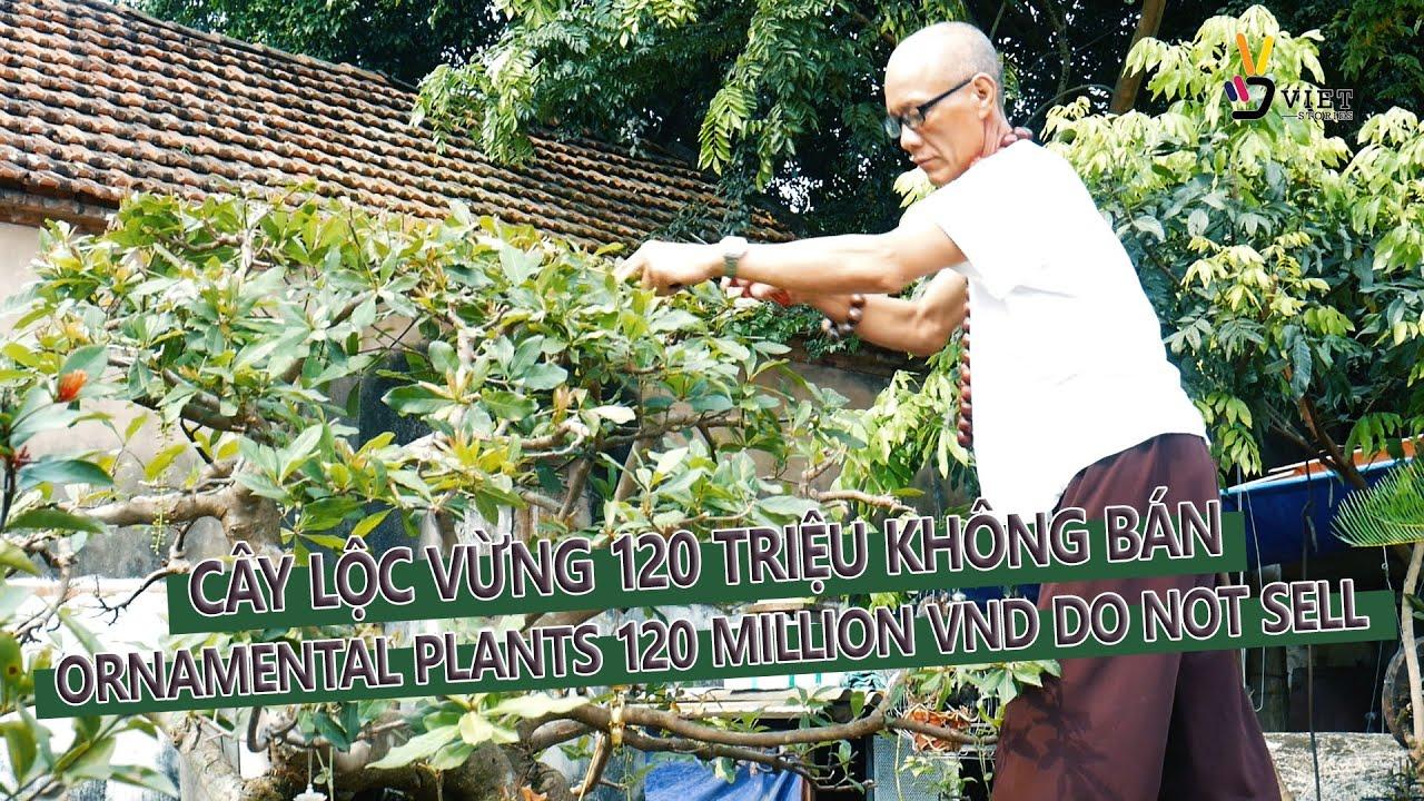 Cây lộc vừng 120 triệu không bán/Ornamental plants 120 million VND do not sell