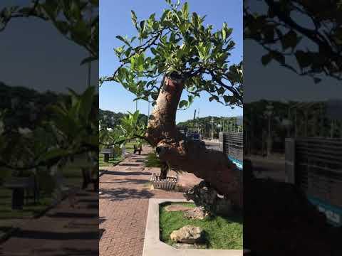 Cây mít bonsai độc lạ tại triển lãm cây cảnh bonsai Quảng Ngãi