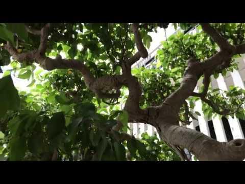 Cây sanh tán và rễ cực đẹp tuổi cây già nừa đời người