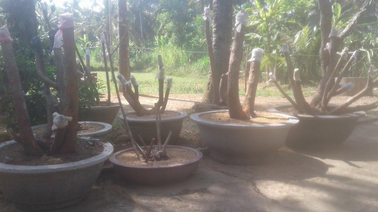 Cây sim rừng vào chậu làm cảnh bonsai sưu tầm trồng thử cây sim 2020