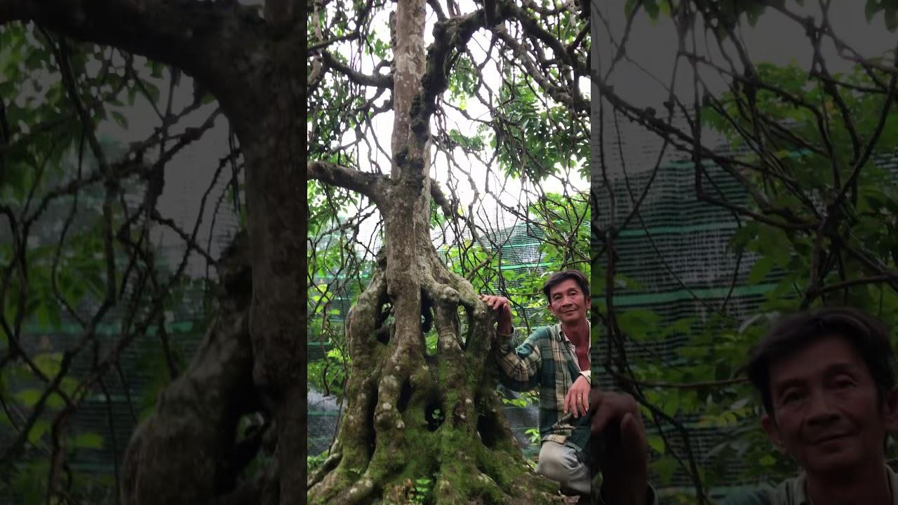 Cận cảnh cụ khế độc, lạ nhất Việt Nam