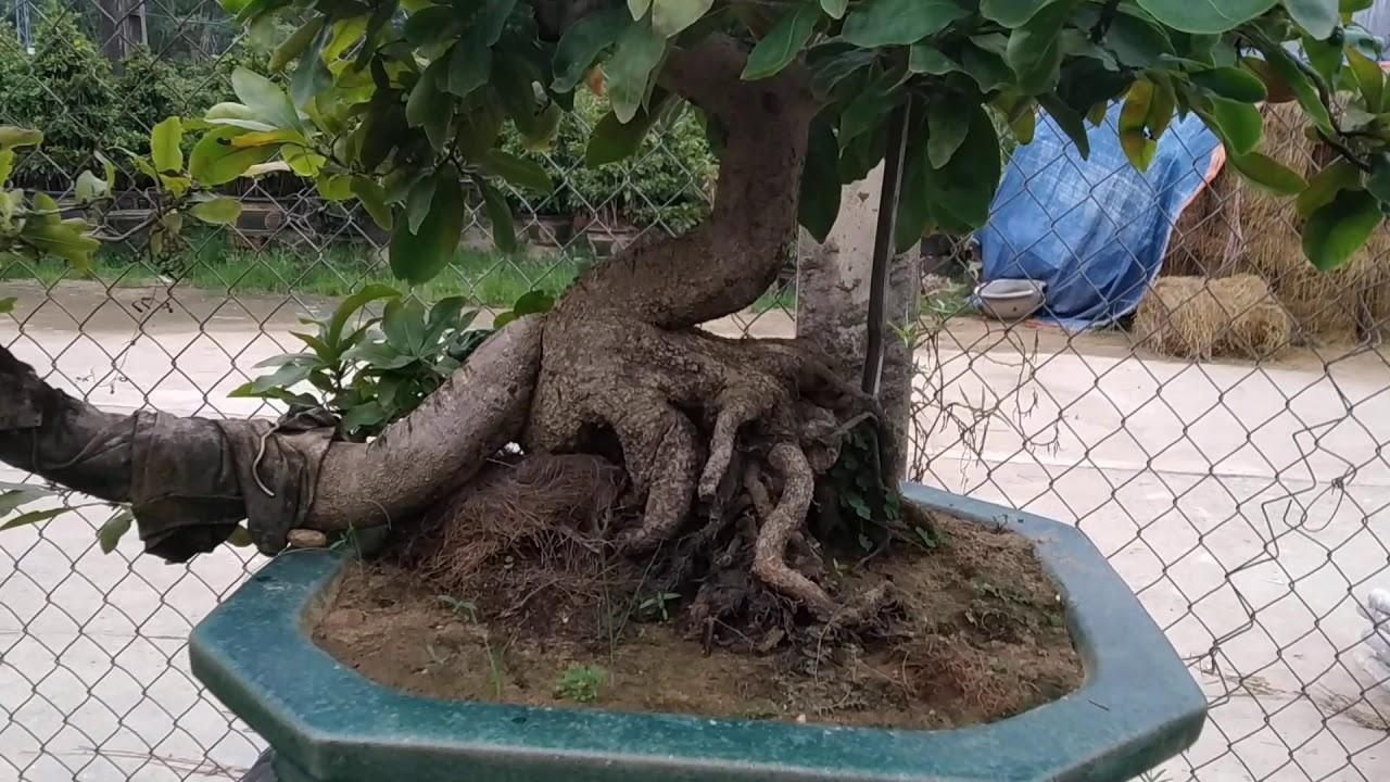 Chậu mai bonsai dáng song thân đẹp