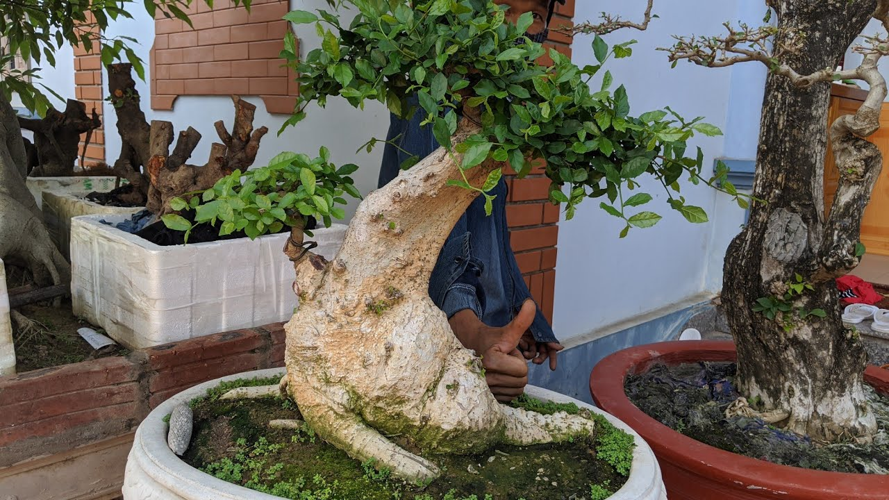 Cha sẻ về cây duối lá đẹp vườn xinh Hướng lục Nam