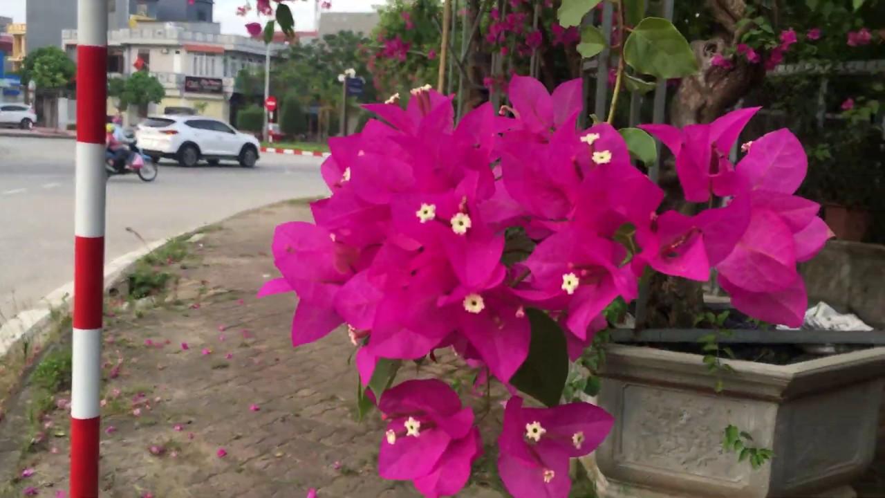 Gốc giấy khủng/ thăm vườn hoa cây cảnh ở hai dương