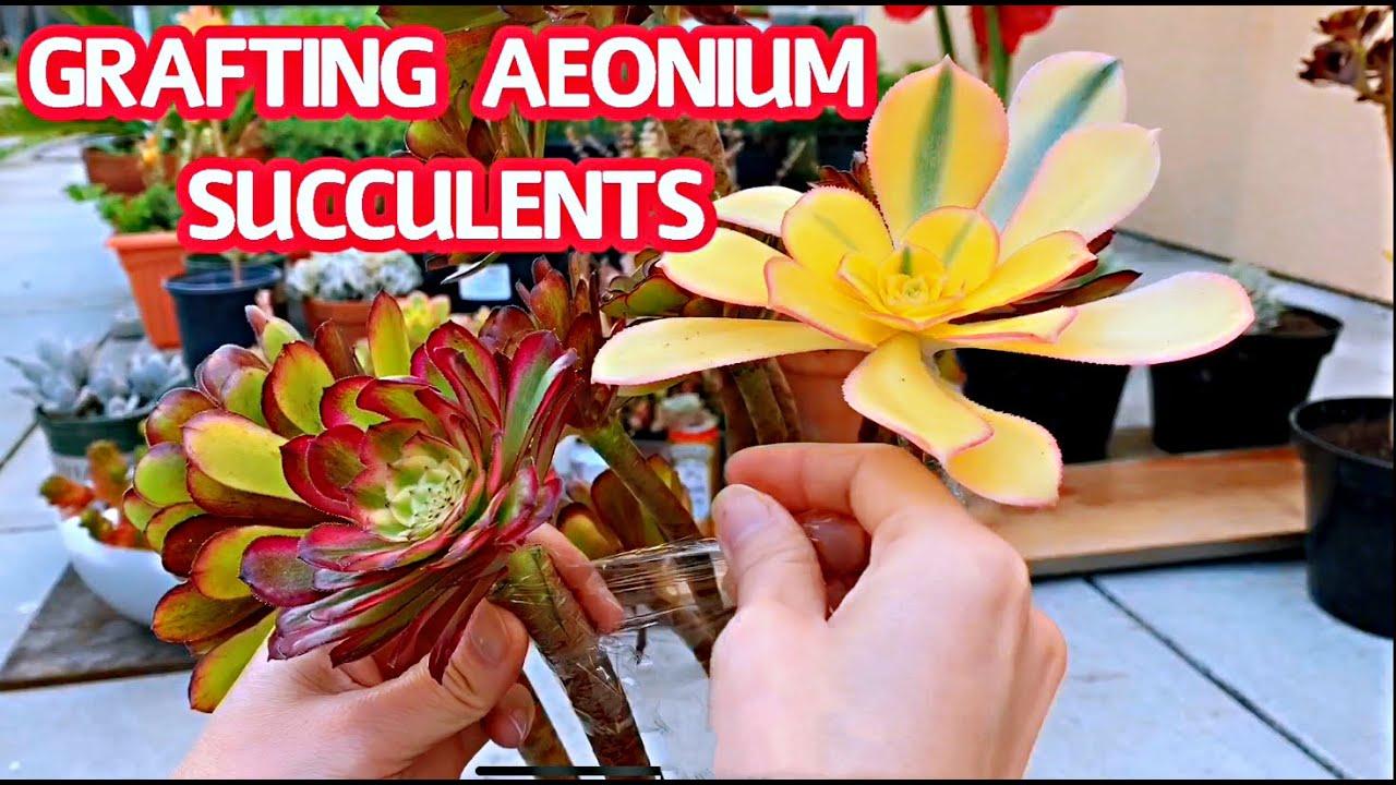 GRAFTING AEONIUM SUCCULENTS   Ghép sen đá Aeonium nhiều màu với nhau