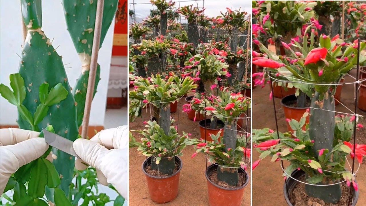 Ghép cây hoa tiểu quỳnh để có chậu hoa đẹp